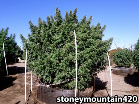 This bushy outdoor cannabis plant has tons of huge colas located at the top of the plant. Generally with marijuana plants the biggest buds are located at the top.