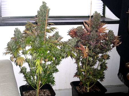 This auto-flowering cannabis plants are ready to harvest - they thrived under an HPS grow light