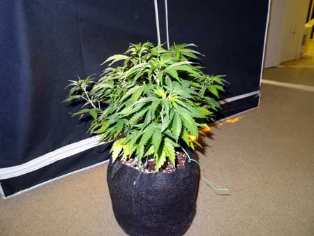 Example of training on auto-flowering cannabis plant - before LST