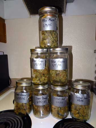 Example of auto-flowering buds curing in quart sized mason jars
