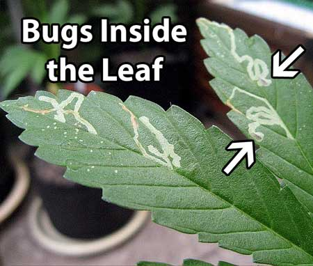 "Brown or pale lines mark from leafminers show where the pest has ""mined"" through the leaf, leaving a trail behind"