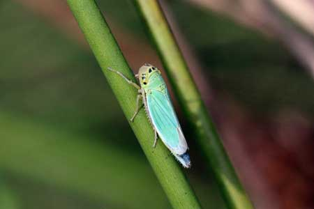 This example of a leaf hopper has an almost turquoise blue-green color