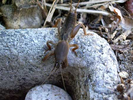 Example of a mole cricket, which can tunnel under your cannabis plants and disturb their roots