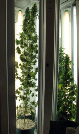 Example of a flowering cannabis plant in a Phototron (grow light with T5 lights along the sides) - Notice how the top buds get the biggest even though the plant is getting the same amount of light from top to bottom