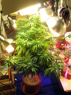 Example of a cannabis plant that has lots of side lighting from CFLs