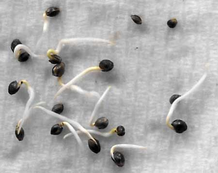 "Example of marijuana seeds germinating via the ""paper towel method"""