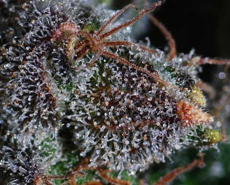 Example of cannabis buds at the end of the harvest window - many of the white trichomes have started turning amber