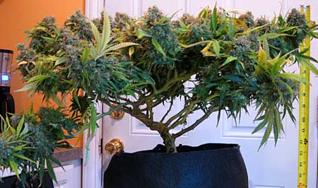 Example of an auto-flowering cannabis plant grown in coco coir - it has been trained to grow lots of buds