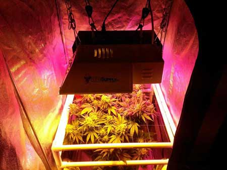 Example of a marijuana plant grower who is using both LED and HPS grow lights