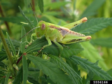 Example of the differential grasshopper (Melanoplus differentialis) on a cannabis plant