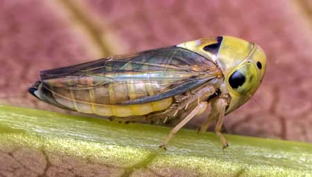 This leafhopper looks a lot different than many of the others, due to its big bulbous head