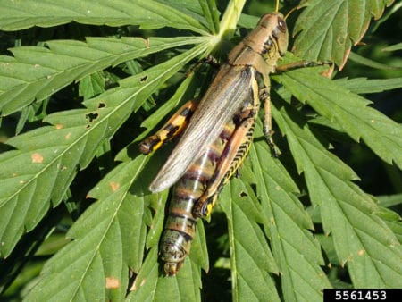 Example of a grasshopper chilling on a damaged cannabis leaf