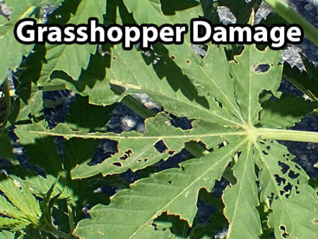 Example of grasshopper damage on a cannabis leaf
