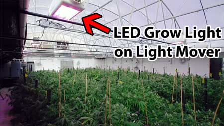 Example of growing cannabis plants in a greenhouse. The light from the sun has been supplemented by the light from LEDs (which are on light movers)