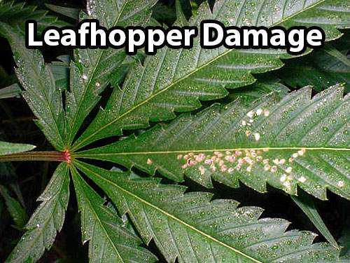 Leafhopper damage on a cannabis leaf (appears as brown spots in clusters)