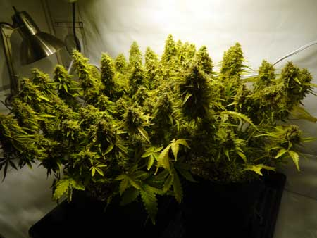 Many auto-flowering marijuana buds under a 250W HPS grow light