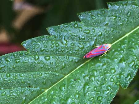 Example of a pink, red, blue, purple and yellow leafhopper - this color of leafhopper is pretty common in the USA