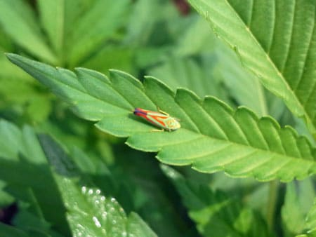 This leafhopper on a cannabis leaf is a bunch of bright colors - red, yellow, green and even purple! Despite the different colors, you get rid of it the same as any other leafhopper!