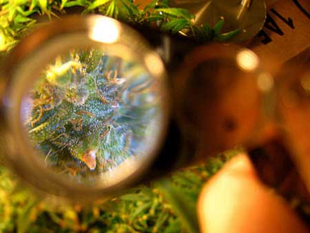 It can still be difficult to see trichomes under a jeweler's loupe