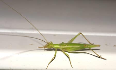 Tree crickets are known to chew on cannabis leaves