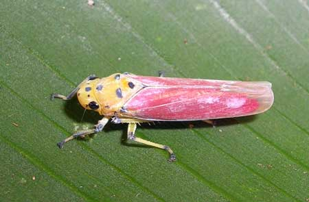 A yellow and pink leaf hopper hanging out - learn how to get rid of this common cannabis pest!