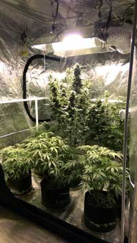 Example of plants thriving in a grow tent