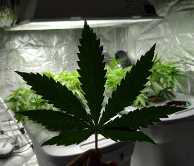 Cannabis leaf in front of a grow tent with vegetative plants inside