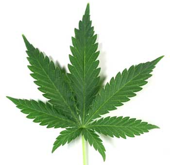 "Example of a ""standard"" cannabis leaf"