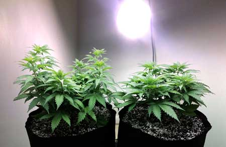 Even a single CFL light is enough to help your marijuana plant maintain its regular light cycles