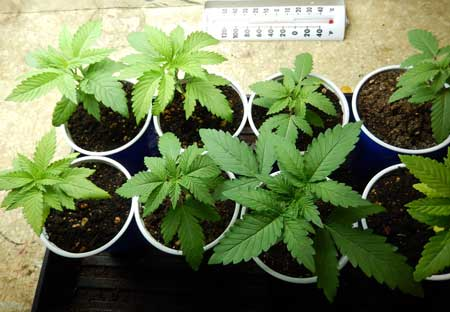This happy little cannabis plants in solo cups are ready to be transplanted to bigger containers ASAP!