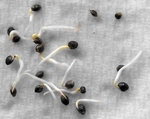 How To Transplant Cannabis Seedlings Grow Weed Easy