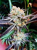 Example of a smelly, glittery cannabis bud with an amazing fragrance of sweet and berry