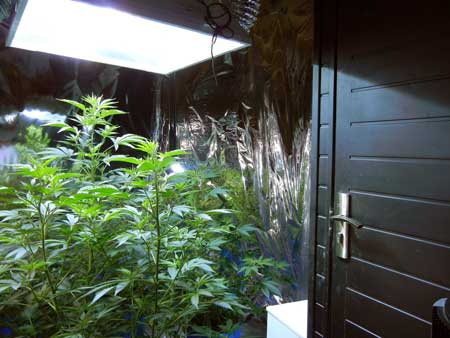 Example of a cannabis grow room - controlling the temperature, humidity and air circulation in the grow room can increase your yields!