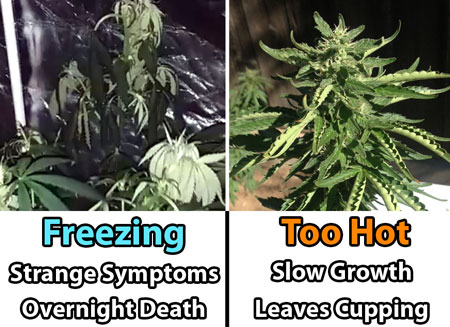 Example of effects of temperature on marijuana plants - too hot vs too cold - plants want a comfortable room temperature!