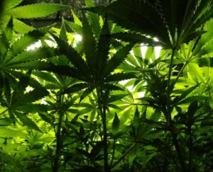 Example of looking up through a green, lush canopy created by happy, fast-growing cannabis plants!