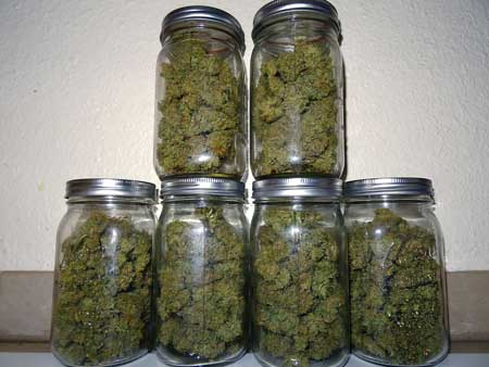 Example of a cannabis buds curing in quart sized mason jars. From this picture you can assume the grower harvested about 6 ounces of bud.