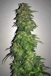Example of a thick, long cannabis cola that smells sweet because of the supplements that were used