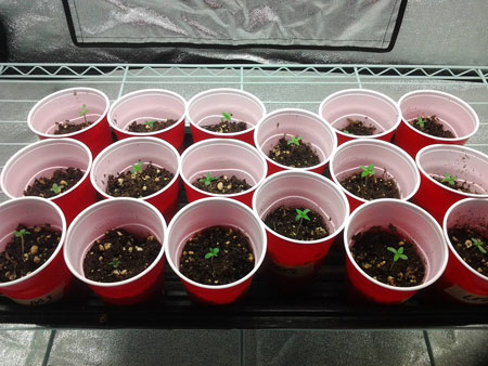 Example of many small cannabis seedlings in solo cups - starting in small containers gets seedlings to grow faster at first!