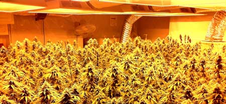 Example of a grow room with a full canopy of buds under the HPS - you can achieve 1 gram/watt if you do it right!