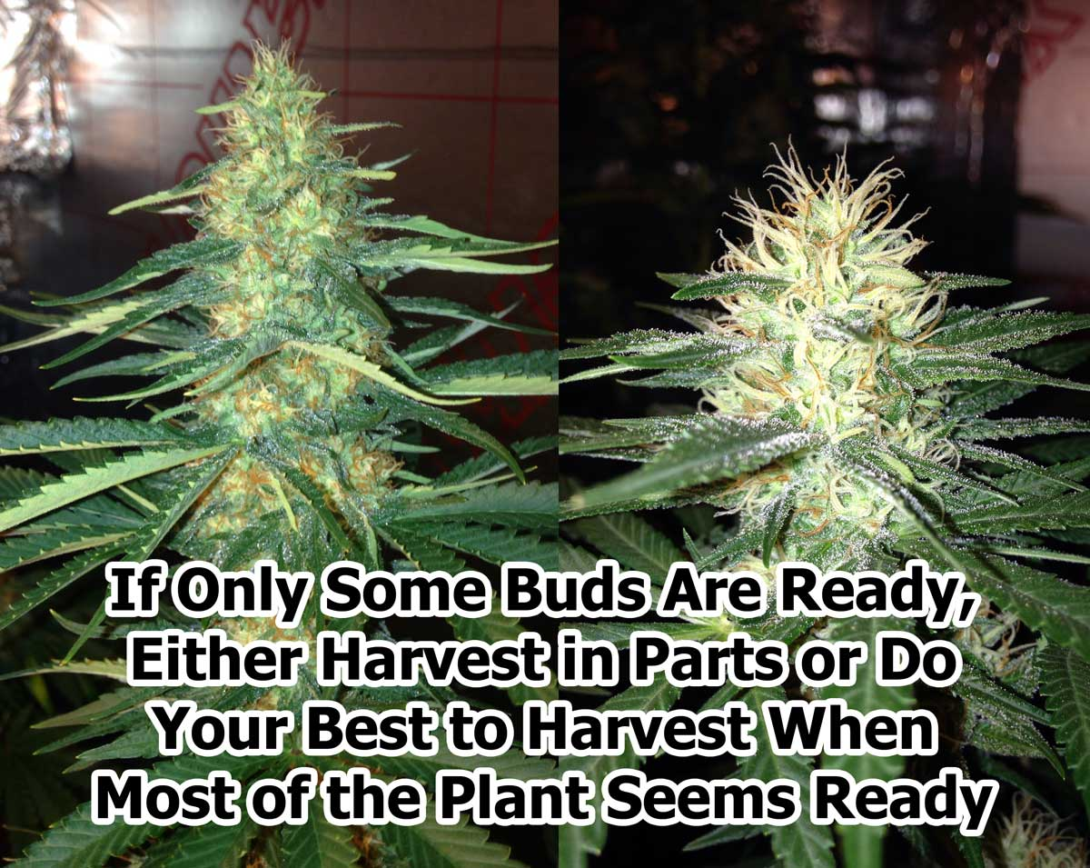 Why Some Buds Keep Making New Pistils | Grow Weed Easy