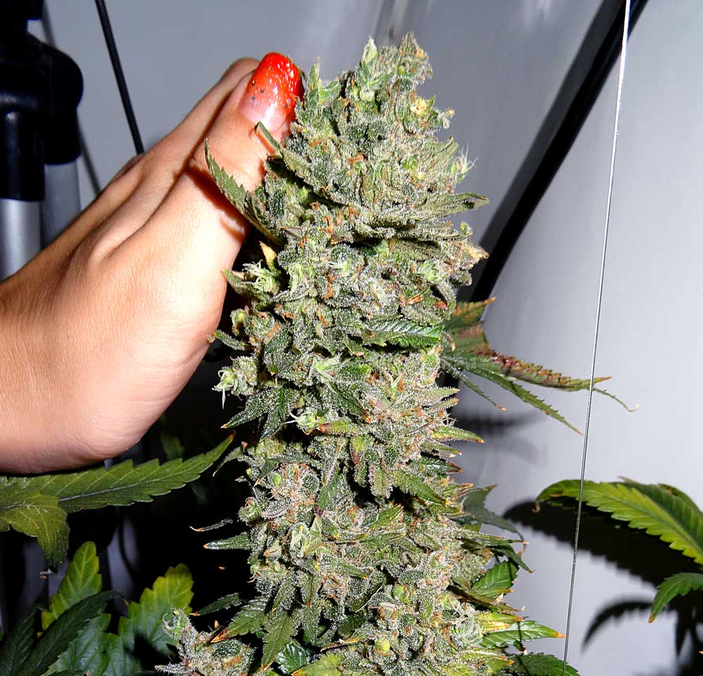 What To Expect During The Cannabis Flowering Stage Grow