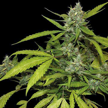 The cannabis strain known as Sweet Tooth is becoming increasingly popular!