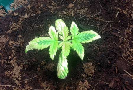 Example of a cannabis plant that's got a nutrient deficiency due to overwatering