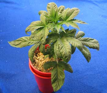 This marijuana plant has root problems from being in a too-small container. It needs to be transplanted immediately in order to get better and start growing again. This transplanting tutorial will walk you through the steps to make sure this doesn't happen to you!