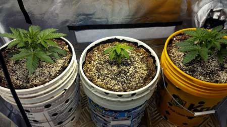 Example of one cannabis plant staying smaller than all the others for no apparent reason