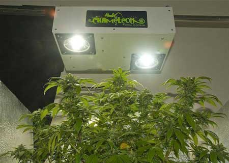 Cannabis plants growing under a Chameleon Plasma Grow Light