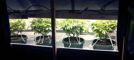 T5 grow lights should be kept very close to your marijuana plants