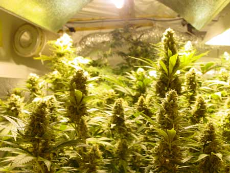 Cannabis colas under an HPS grow light