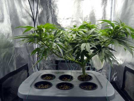 This marijuana plant was trained to grow short and flat - this allows one plant to yield as much bud as many smaller cannabis plants