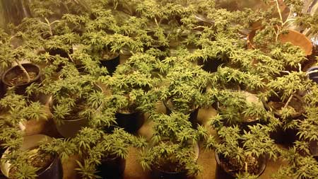 Example of many cannabis plants filling a grow space
